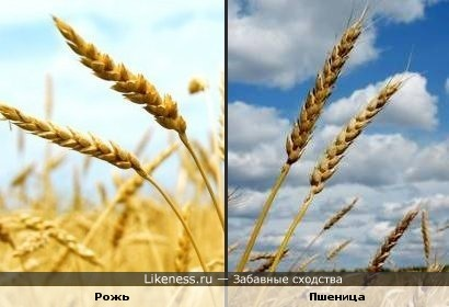 Рожь и Пшеница -родные сестры