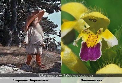 """Этот цветок напомнил Старичка-Боровичка из сказки """"Морозко"""""""