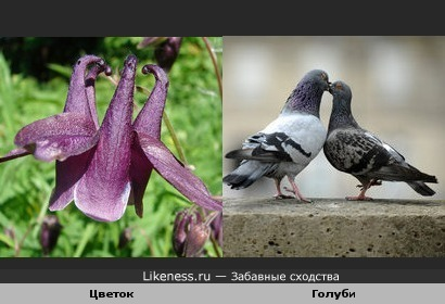 Цветок и голуби