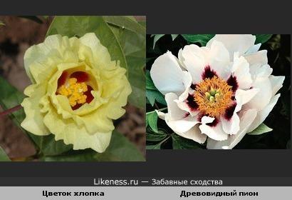 Цветок хлопка похож на древовидный пион