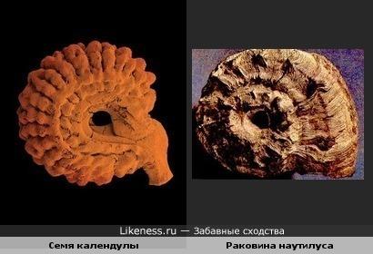 Семя каледулы и раковина моллюска наутилуса