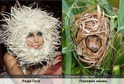 """Фотография """"Тайная жизнь полевой мыши"""" напомнила головной убор Леди Гаги"""