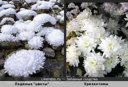 Ледяные хризантемы