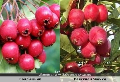 Боярышник и райские яблочки похожи даже на вкус