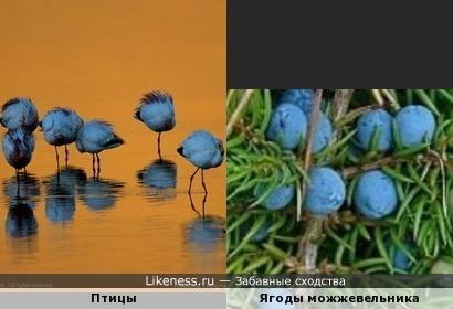 Птицы-ягодки