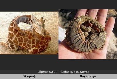 Жираф и ящерица точка ру