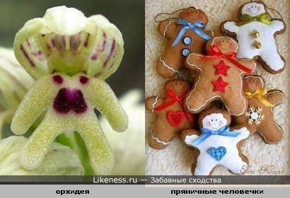 Эта орхидея напоминает мне пряничных человечков.