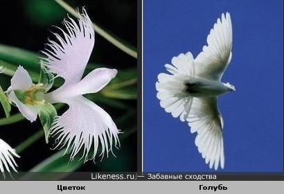Цветок напоминает парящего белого голубя