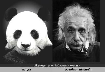 Панда похож на Альберта Эйнштейна