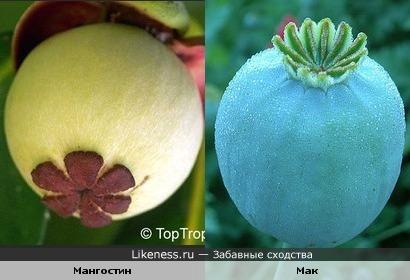 плод мангостина напоминает головку мака