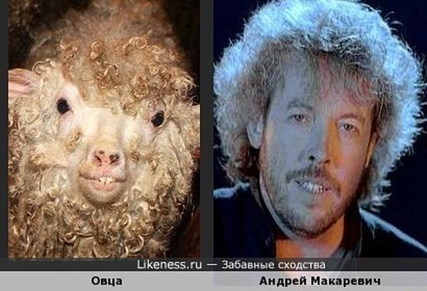 Сам овца...
