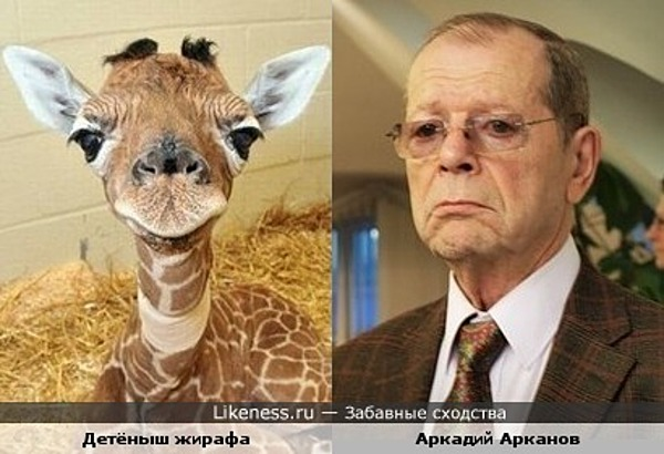 Писатель-сатирик Аркадий Арканов и маленький жирафчик