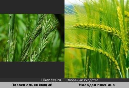 Плевел опьяняющий (Lolium temulentum) и молодая пшеница