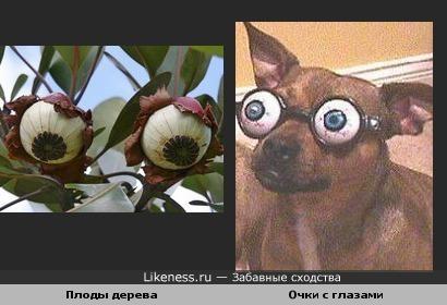 """Плоды венесуэльского дерева похожи на прикол """"очки с глазами"""""""