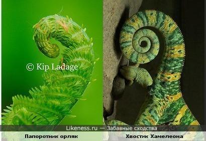 Папоротник похож на хвост хамелеона))