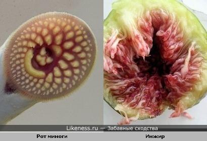 Рот миноги немного напоминает инжир в разрезе
