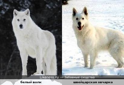 Овчарка похожа на Волка