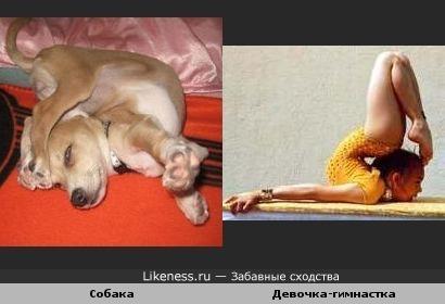 Собака-гимнастка