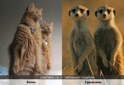 Коты и сурикаты