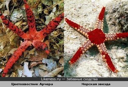 Гриб цветохвостник Арчера похож на морскую звезду