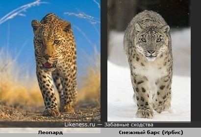 Леопард (символ олимпиады-2014) пожож на снежного барса