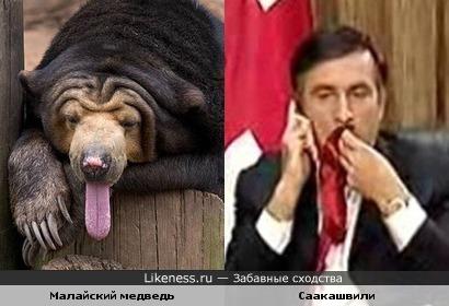 Малайский медведь и Михаил Саакашвили похожи
