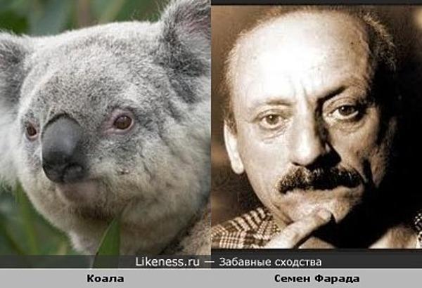 Задумчивая коала напомнила Семена Фараду