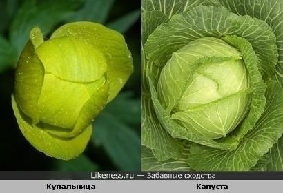 Цветок на капусту похож
