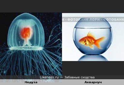 Медуза похожа на аквариум с золотой рыбкой