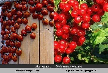 Божьи коровки как гроздья смородины