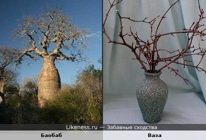 Баобаб похож на вазу