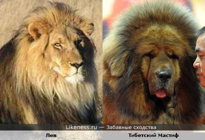 Лев и Тибетский Мастиф похожи
