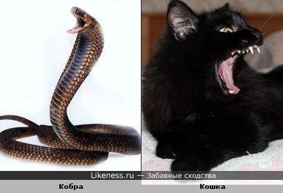 Рассерженная кобра похожа на зевающую кошку