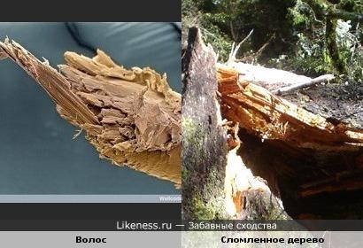 Волос под микроскопом похож на сломленное дерево