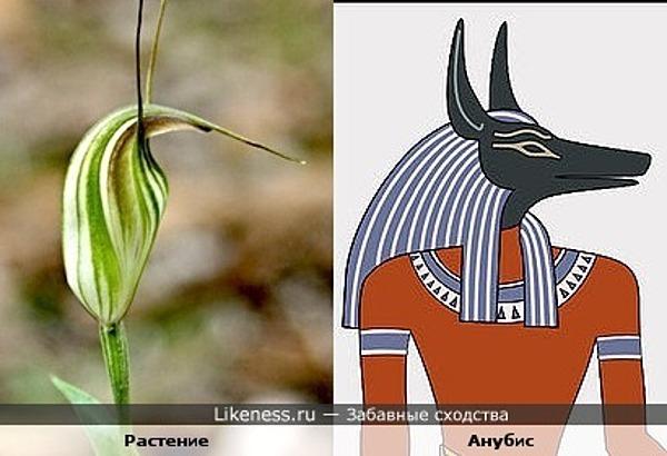 Растение чем-то напоминает египетского бога Анубиса