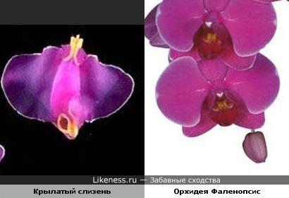 Плох тот слизняк, который не мечтает стать орхидеей