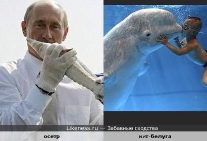 осетр похож на кита-белуга