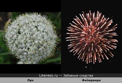 Соцветие лука похоже на салют