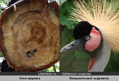 На спиле дерева можно разглядеть профиль венценосного журавля