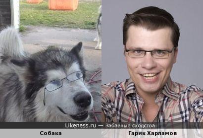 Собака похожа на Гарика Харламова