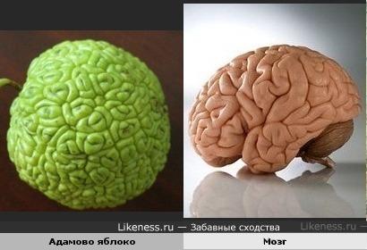 Яблоко похоже на мозг