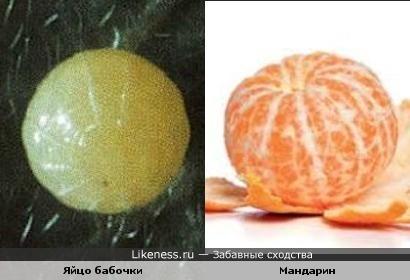 Яйцо бабочки похоже на мандарин...