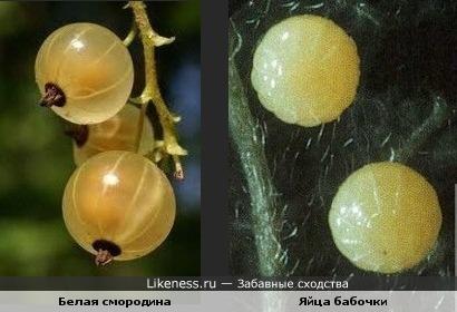 Яйца бабочки по форме и цвету похожи на белую смородину.
