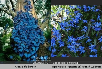 Синие бабочки похожи на цветы
