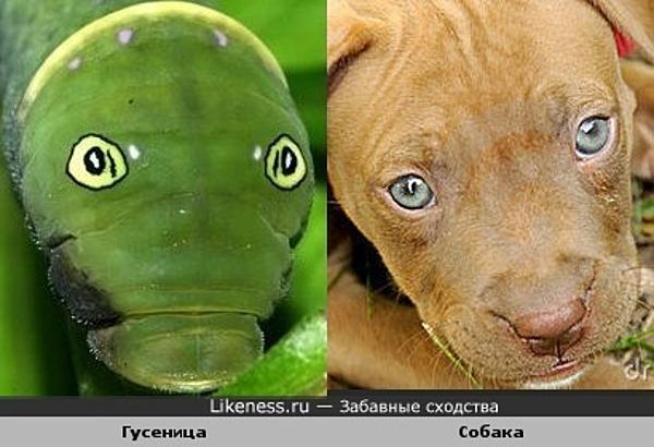 Гусеница и собака