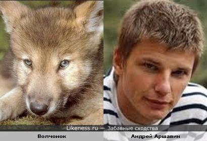Волчонок похож на Андрея Аршавина