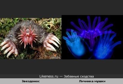 Звездонос и личинка мушки
