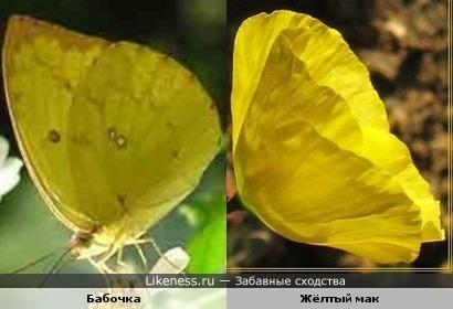 Жёлтый мак напоминает бабочку