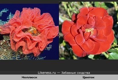 Моллюск и цветок очень похожи
