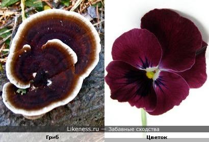 Этот гриб похож на фиалку